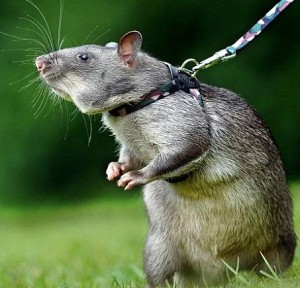 gambian-pouch-rat-tikus-afrika-300x288