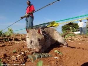 gambian-pouch-rat-tikus-afrika-pendeteksi-ranjau-300x225